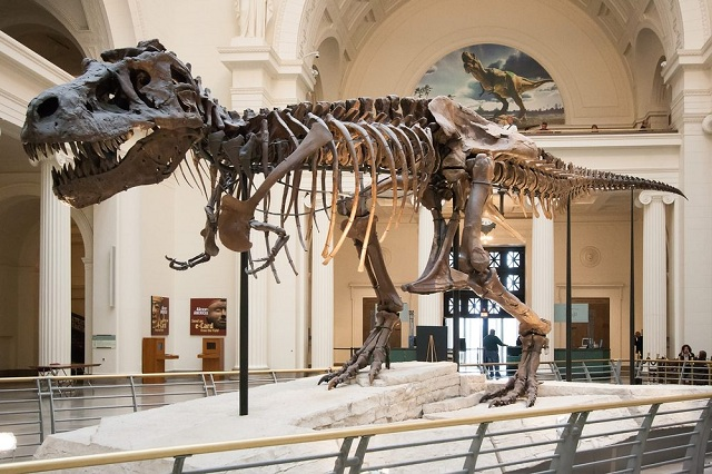 Điểm thu hút chính của bảo tàng Field chính là Sue có bộ xương khủng long bạo chúa lớn nhất trên thế giới