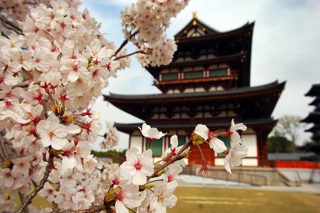 Cung điện Kyeongbok là một trong những địa điểm ngắm hoa anh đào đẹp nhất ở Seoul