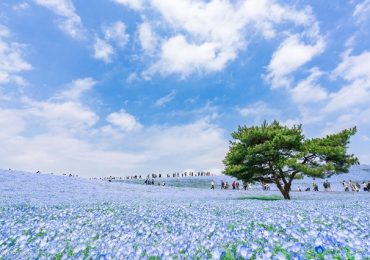 Mê mẩn trước 4 cánh đồng hoa đẹp nhất thế giới